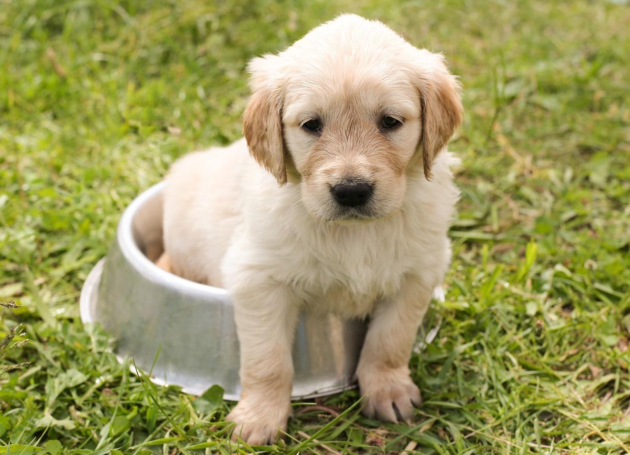 Das Traning der jungen Hunde sollte bereits im Welpenalter beginnen